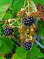 Rubus fruticosus 003.JPG