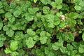 Rubus nepalensis Kuntze.JPG
