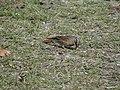 Rufous-Breasted Accentor - Prunella strophiata - DSC00103.jpg