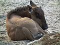 Ruhendes Kalb Zoo Landau Streifengnu.JPG