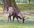 Rupicapra pyrenaica - Tierpark Hellabrunn.jpg