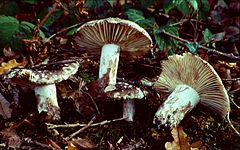 240px russula nigricans