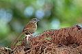 Rusty Sparrow, El Triunfo, Mexico (16583752214).jpg