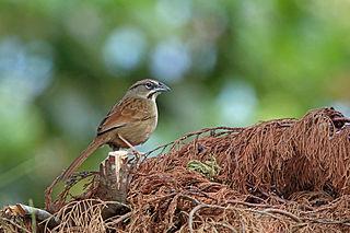 Rusty sparrow species of bird