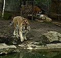 SDC11110 - Panthera tigris altaica (Amurtiger).JPG