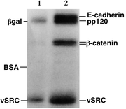 SDS-PAGE autoradiography - The indicated proteins are present in different concentrations in the two samples.