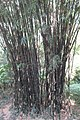 SZ 深圳 Shenzhen 福田 Futian 蓮花山 Lianhuashan Park green bamboo Dec-2017 IX1 01.jpg