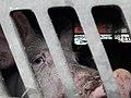 Sad pig in slaughter truck 2.jpg
