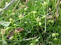 Sagina procumbens inflorescence (10).jpg