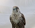 Saker Falcon (captive) (37098596802).jpg