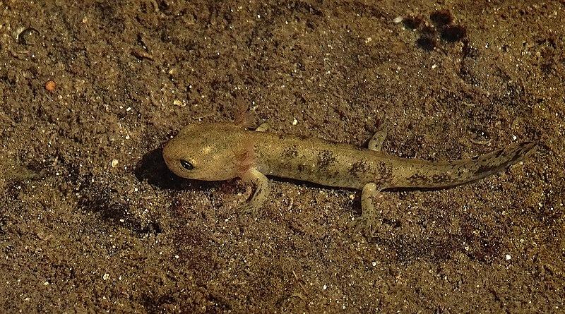 File:Salamandra salamandra 4.jpg