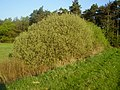 Salix cinerea habitus in spring Germany.jpg