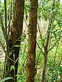 Salix triandra bark.JPG