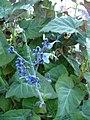 Salvia macrophylla (Scott Zona) 001.jpg