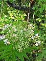 Sambucus ebulus, Adoxaceae 03.jpg