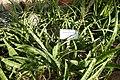 Sansevieria parva-Jardin botanique de Berlin (2).jpg