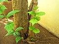Saplings of coral jasmine.jpg