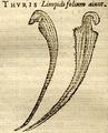 SarraceniaIllustration1576LobeliusThuris.png