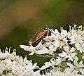 Sawfly. Arge ustulata (32468761788).jpg