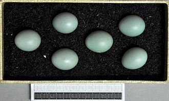 Whinchat - Eggs, Collection Museum Wiesbaden