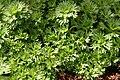 Saxifraga White Pixie 0zz.jpg