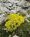 Saxifraga aizoides (1).JPG