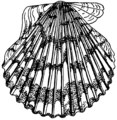 Scallop (PSF).png