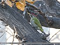 Scaly-bellied Woodpecker (Picus squamatus) (32340479734).jpg