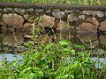 Scaly breasted munia or spotted munia (Lonchura punctulata).JPG