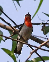 Scarlet-headed Flowerpecker (Dicaeum trochileum trochileum)