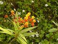 Scarlet Milkweed (371554855).jpg