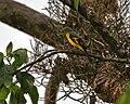 Scarlet Minivet (Pericrocotus speciosus) - female at Jayanti, Duars, West Bengal W Picture 389.jpg
