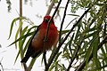Scarlet Tanager (male) Fall Out Sabine Woods TX 2018-04-08 08-12-17 (26614025357).jpg
