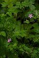Schönebecker Schlucht Blumen.jpg