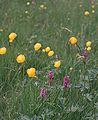 SchoenbuchTrollblumen1.jpg