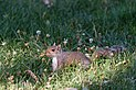 Sciurus carolinensis - Washington Mall - 2012-07-06 - 2.jpg