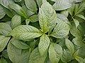Scopolia carniolica 2016-04-19 7980.JPG
