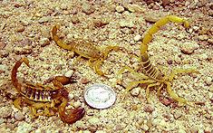 Scorpio maurus Mesobuthus eupeus Odontobuthus doriae.jpg