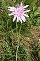 Scorzonera purpurea (Purpurlila-Schwarzwurzel) IMG 8118.JPG