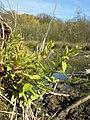 Scutellaria galericulata sl8.jpg