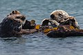 Sea Otters (Enhydra lutris), from a raft of about 15, (8627080604).jpg