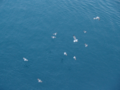 Seagulls Flocking - Adriatic Sea.png