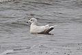 Second-winter Iceland Gull (Larus glaucoides) (16318062821).jpg