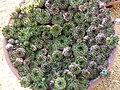 Sempervivum tectorum var. glaucum (Crassulaceae) plant.jpg