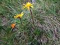 Senecio carpaticus a2.jpg