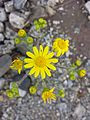 Senecio vernalis sl2.jpg