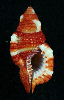 <i>Septa rubecula</i> species of mollusc