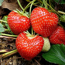 September strawberries - geograph.org.uk - 1511114.jpg