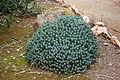 Ses Salines - Botanicactus - Euphorbia resinifera 07 ies.jpg