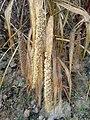 Setaria italica subsp. italica sl19.jpg